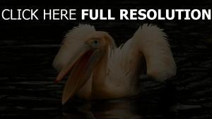 rosa wasser vogel pelikan