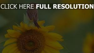 sonnenblume sitzen vogel