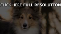 hund flauschige maulkorb shetland sheepdog
