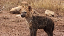 junges raubtier hyäne