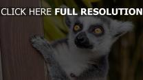 schauen beschmutzt lemur