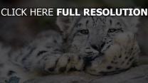 große katze leopard schneeleopard
