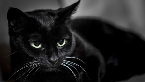 schnauze augen schwarze katze