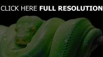 python reptil raubtier schlange
