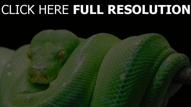 hd hintergrundbilder python reptil raubtier schlange
