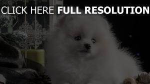 welpen schön weiß hund