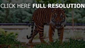 gras tier tiger räuber