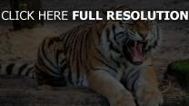 aggression predatorbig katze zähne tiger