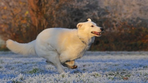 schäferhundhund frost züchten schweizer