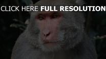 taiwan augen schnauze makaken