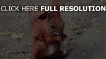 tier niedlich lebensmittel eichhörnchen