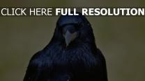 vogel schnabel rabe