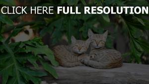 paar liegen gestreift katzen