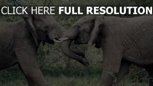 paar kämpfen rüssel elefanten