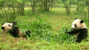 gras paar essen panda