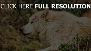 räuber gras liegend wolf