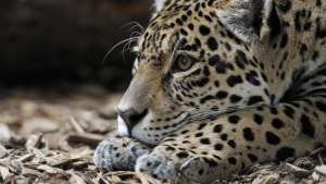 räuber große katze schnauze jaguar