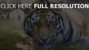 räuber katze maulkorb tiger
