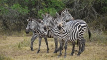 afrika spaziergang zebra