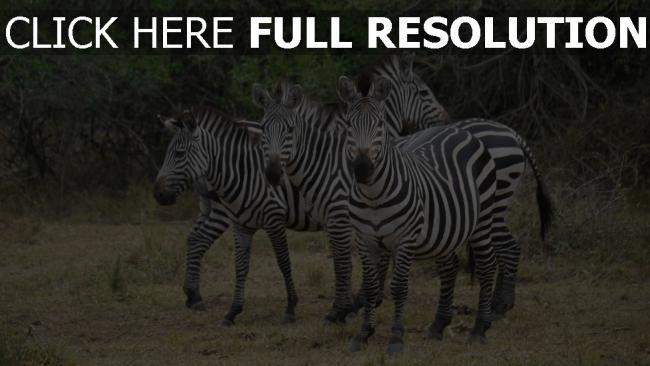 hd hintergrundbilder afrika spaziergang zebra