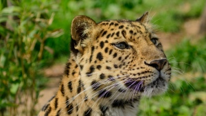 wildkatze raubtier schnauze leopard