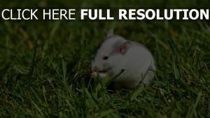 gras nagetier weg ratte