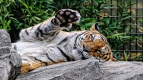gesicht pfote raubtier amur-tiger