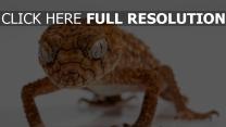 reptil nahaufnahme eidechse gecko