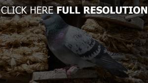 vogel dovecote sitzend taube