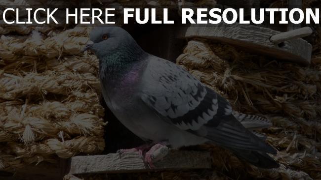 hd hintergrundbilder vogel dovecote sitzend taube