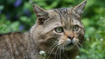 maulkorb augen wilde katze