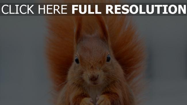 hd hintergrundbilder buschigen schwanz tier schnauze eichhörnchen