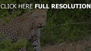 geparden blick räuber leopard