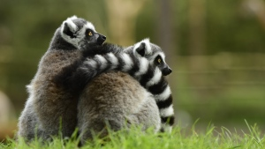 paar umarmen lemur