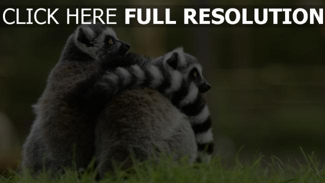 hd hintergrundbilder paar umarmen lemur