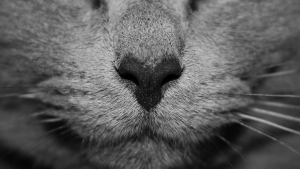 nase grau gesicht katze
