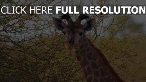 ohren beschmutzt giraffe