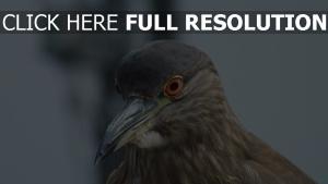 taube augen schnabel vogel