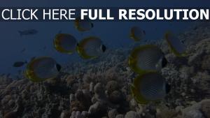 fisch coralreef falter panda unterwasserfish