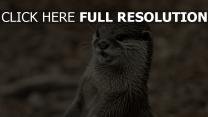gesicht zähne nass otter