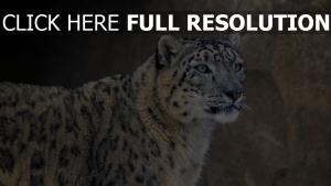 maulkorb raubtier schneeleopard