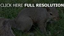gras schwanz eichhörnchen