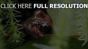 lilie grassdrops blatt frosch