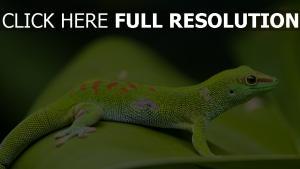 gecko makro blatt eidechse