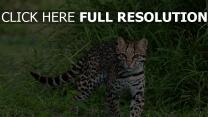 katze zu fuß gras fischer