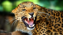 zähne suchen katze raubtier gepard groß
