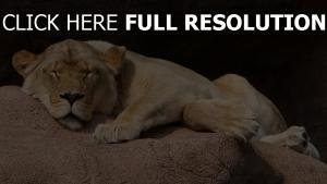 stein liegen löwin