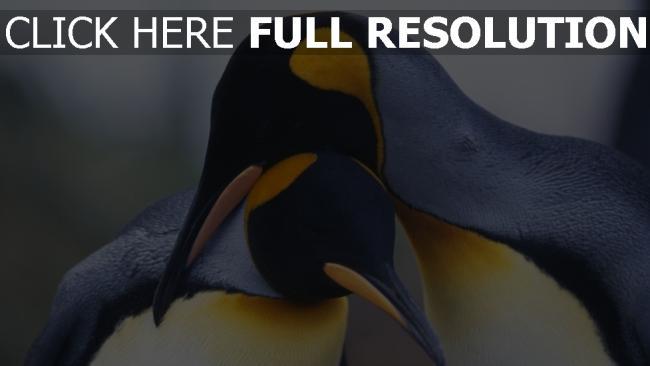 hd hintergrundbilder paar schnabel vogel pinguine