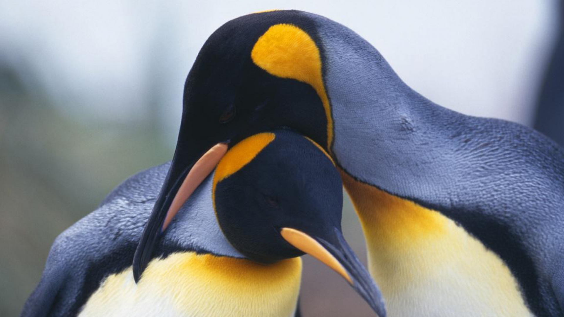herunterladen 1920x1080 full hd hintergrundbilder paar schnabel vogel pinguine 1080p