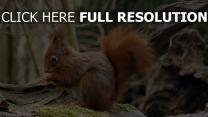 holz sitzen moos eichhörnchen